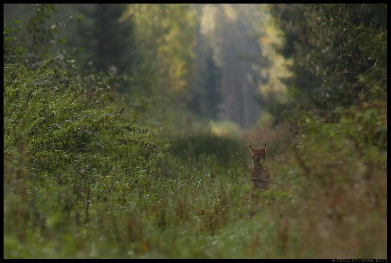 ilves, lynx, Felis lynx