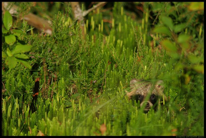 kährik, raccoon dog, nyctereutes procyonoides