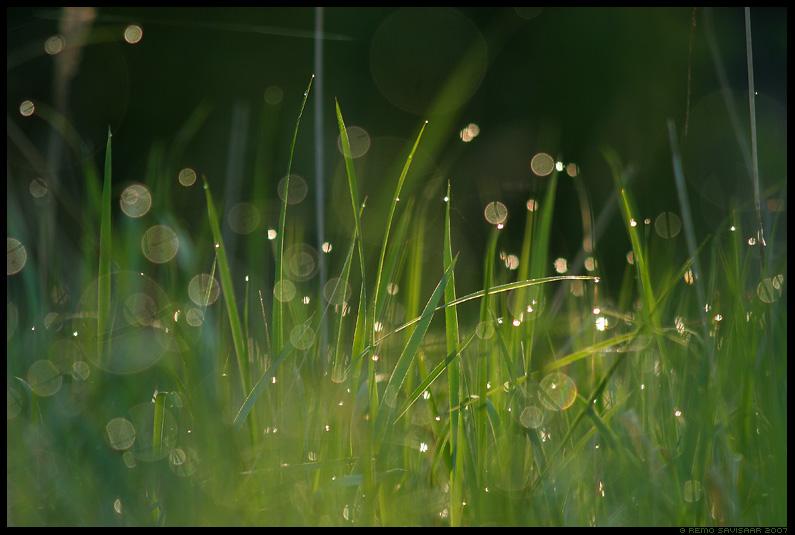 kaste, dew, rohi, grass