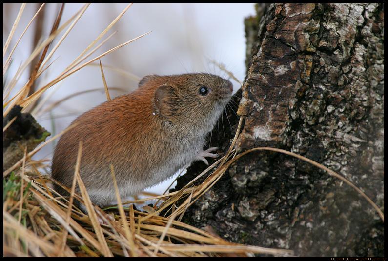 Leethiir, Bank vole, Clethrionomys glareolus