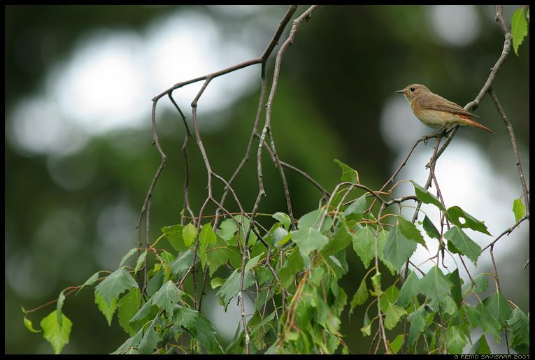 Lepalind, Aed-lepalind, Redstart, Phoenicurus phoenicurus