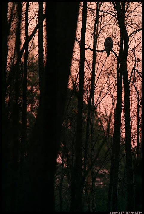 Händkakk, Ural Owl, Strix uralensis