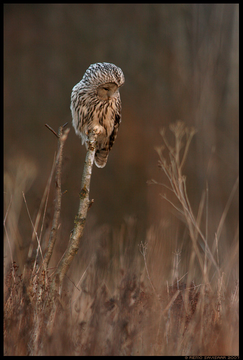Händkakk, Ural Owl, Strix uralensis, variseb, hunting