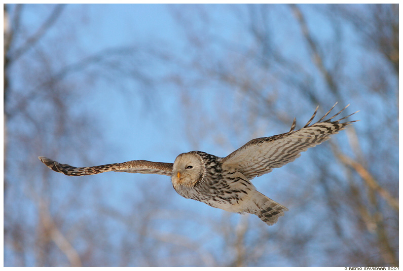 Hndkakk, Ural Owl, Strix uralensis, lend, lennus, flight