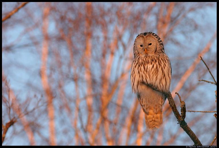 Händkakk, Ural Owl , Strix uralensis