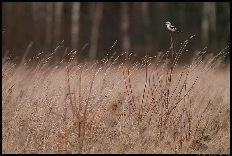 Hallgija, Great Grey Shrike, Lanius excubitor