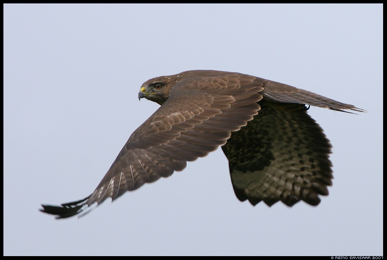 Hiireviu, Common Buzzard, Buteo buteo, lend, lennus