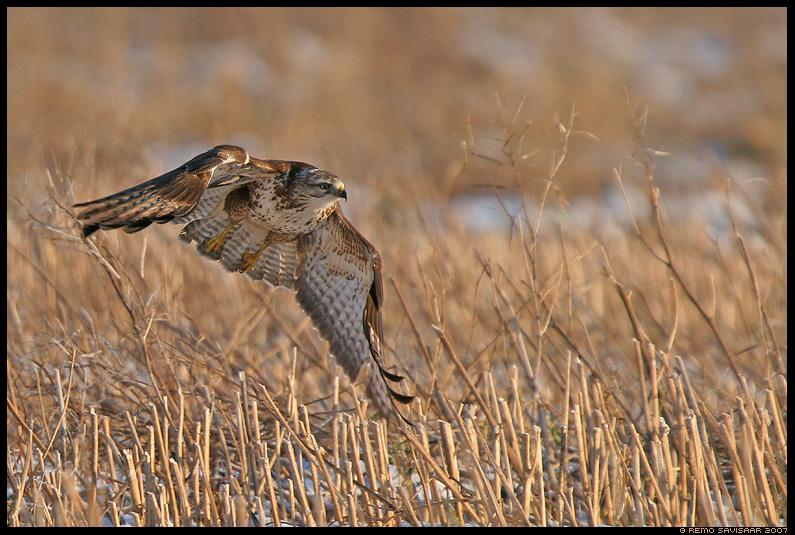 Hiireviu saagijahil, Common Buzzard, Buteo buteo, lend, lennus