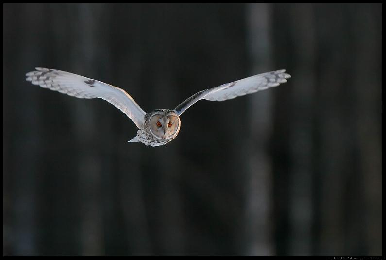 Kõrvukräts, Long-eared Owl, Asio otus, hämar, õhtu, loojang