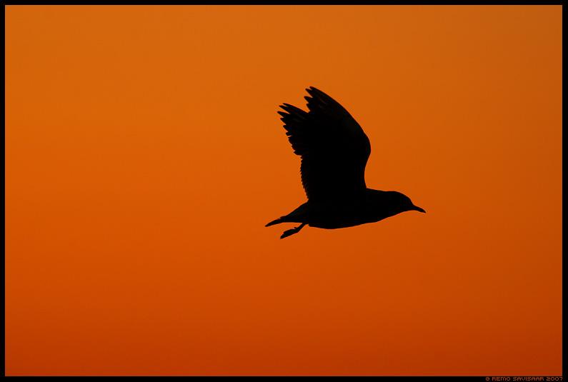 Naerukajakas, Black-headed Gull, Larus ridibundus