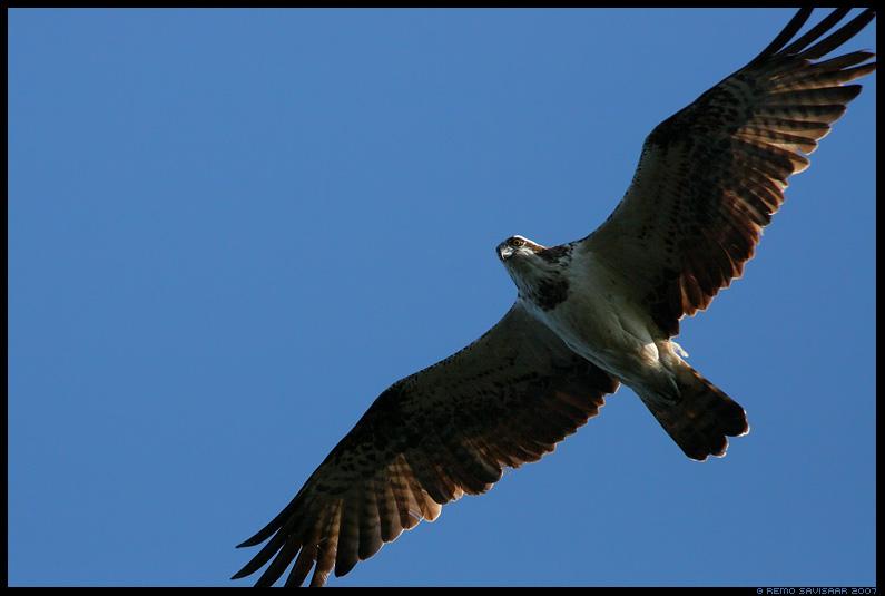 Kalakotkas, Osprey, Pandion haliaetus