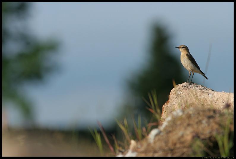Kivitäks, Northern Wheatear, Oenanthe oenanthe, lind, linnuke, kivi