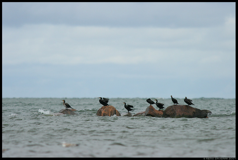 Kormoran, Cormorant, Phalacrocorax carbo