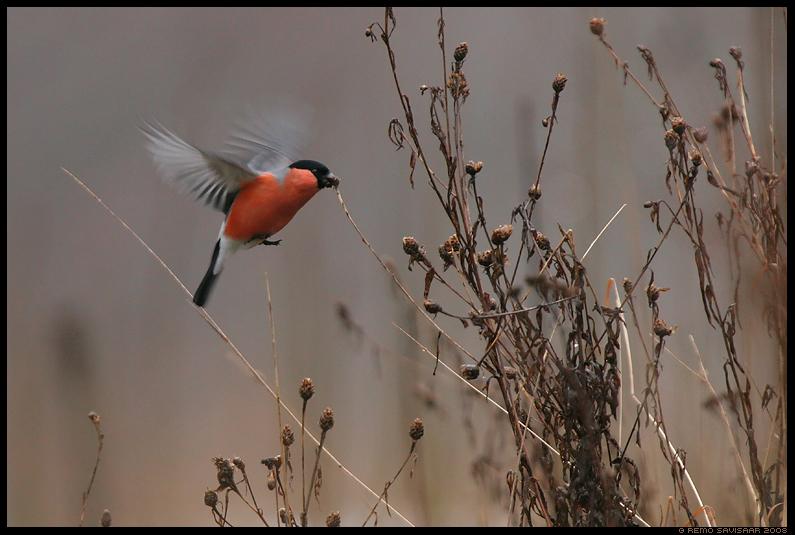 Leevike, Bullfinch, Pyrrhula pyrrhula