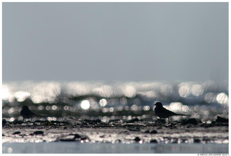Linavästrik, Pied Wagtail, Motacilla alba, vesi, sillerdus, rõngad, järv, lake