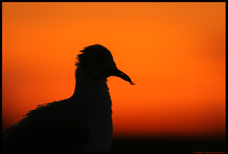 loojang, sunset, bird, red, kajakas, gull