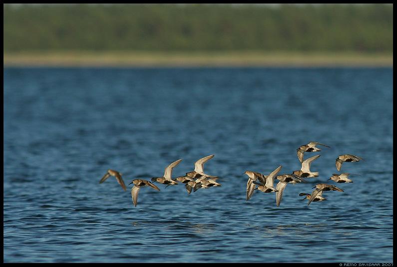 Rändeparv, niidurüdi, Risla, Migration flock, Dunlin, Calidris alpina