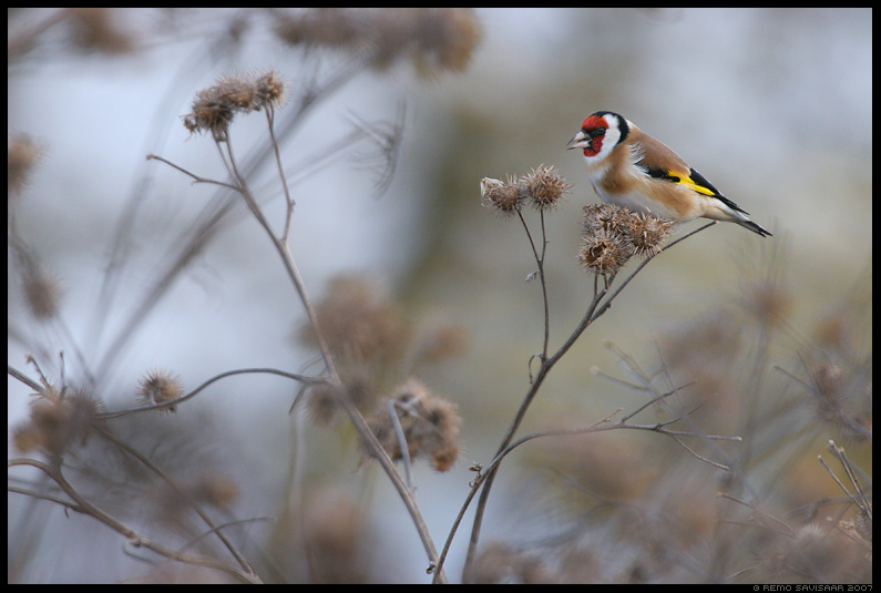Ohakalind, Goldfinch, Carduelis carduelis
