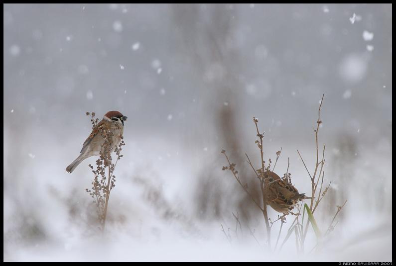 Põldvarblane, Tree Sparrow, Passer montanus, lumi, snow, lumesadu