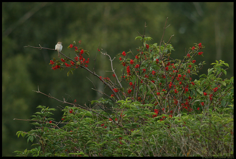 Punaselg-õgija,  punane leeder, Red-backed Shrike, red elder, Lanius collurio, Sambucus racemosa