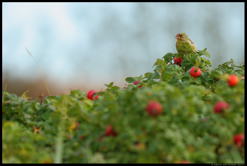 Rohevint, Greenfinch, Carduelis chloris