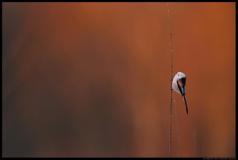 Sabatihane, Long-tailed Tit, Aegithalos caudatus