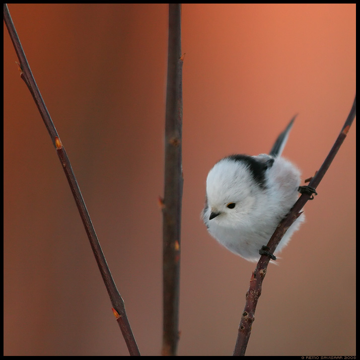 Sabatihane, Long-tailed Tit, Aegithalos caudatus