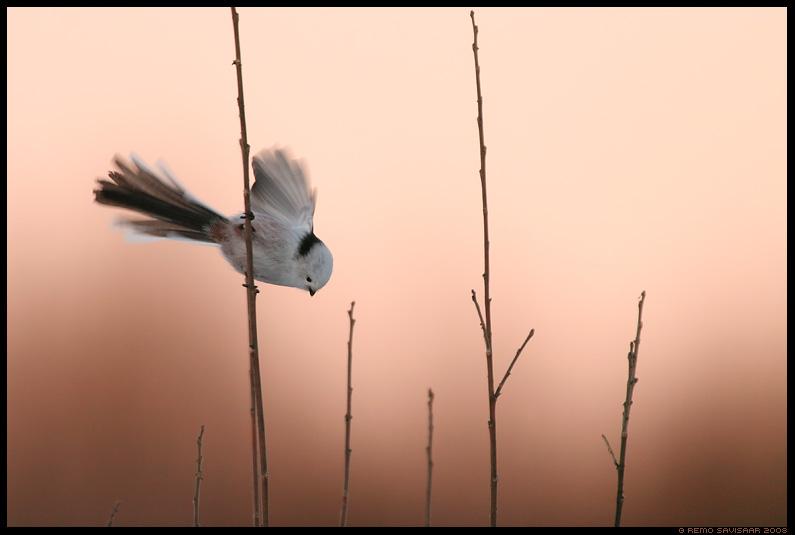 羽根を広げるシマエナガ