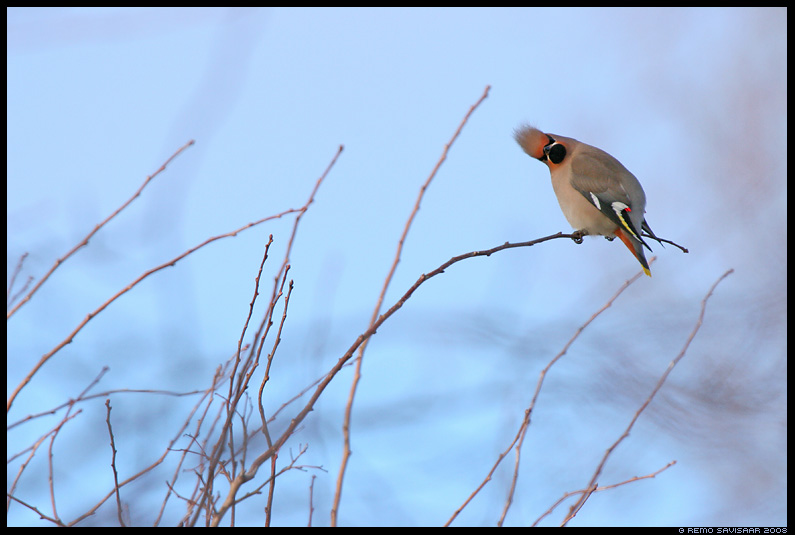 Siidisaba, Waxwing, Bombycilla garrulus