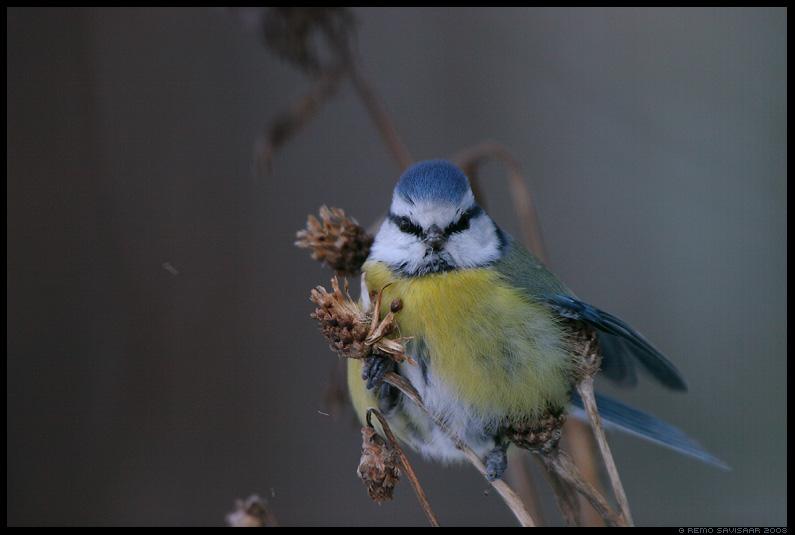 Sinitihane, Blue tit, Parus caeruleus