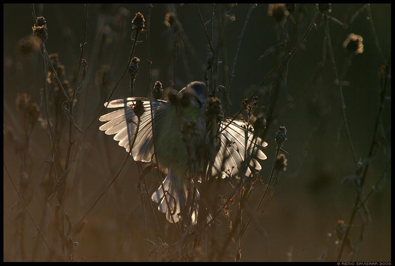 Sinitihane, Blue tit, Parus caeruleus, Liblikas, Butterfly