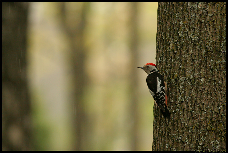 Tamme-kirjurähn, Middle Spotted Woodpecker, Dendrocopos medius, vihm, vihmas, vihmasadu, rain, mets, metsas