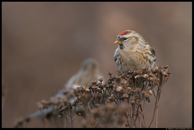 Urvalind, Redpoll, Carduelis flammea