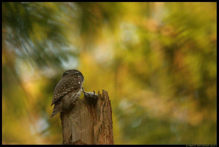 Värbkakk, Pygmy Owl, Glaucidium passerinum, hiir, mouse