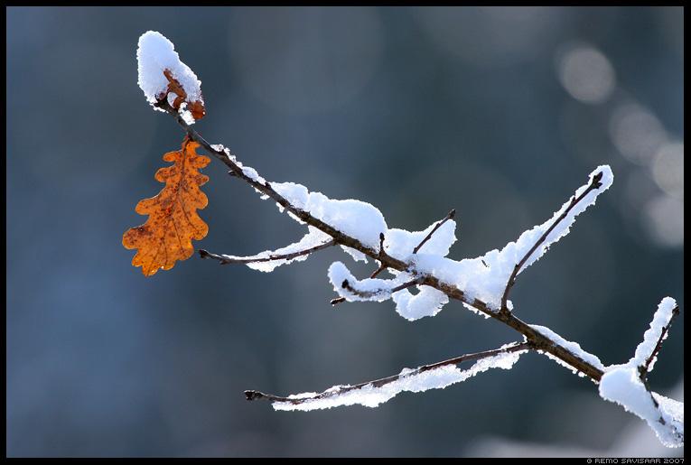 Lumine, Snowy,  tammeleht, oak leaf