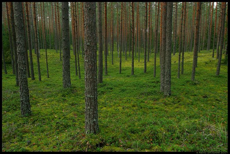 mänd, männid, männimets, pine forest, pinus