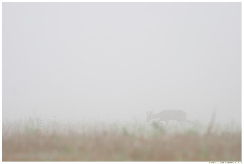 Metskits, sokk, sokuisand, Roe deer, roe buck, Capreolus capreolus, udu, fog, hommik, morning