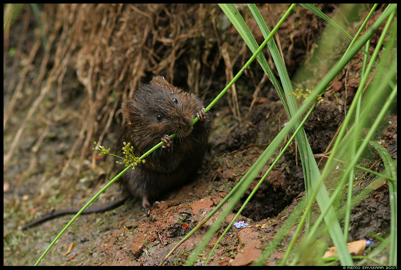 Mgri, Vesirott, Water Vole, Arvicola terrestris
