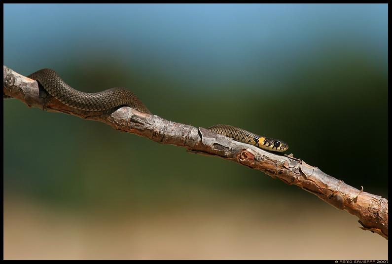 Nastik, Grass Snake, Natrix natrix