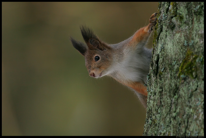 Red squirrel, Käbikuningas, Sciurus vulgaris