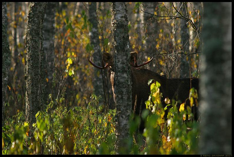 Põder, Moose, Alces alces, mets, puu, puud, kaasik, sookaasik, soo