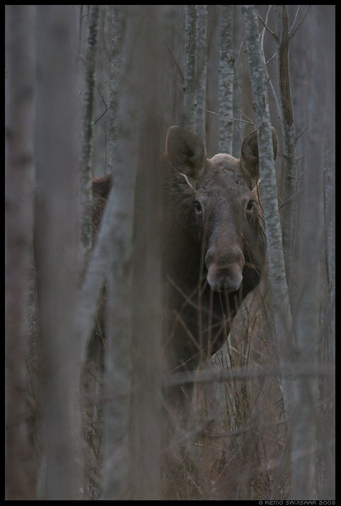 Põder, Moose, Alces alces