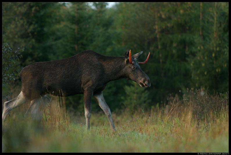 põder, Moose, Alces alces, sarvik, uluk