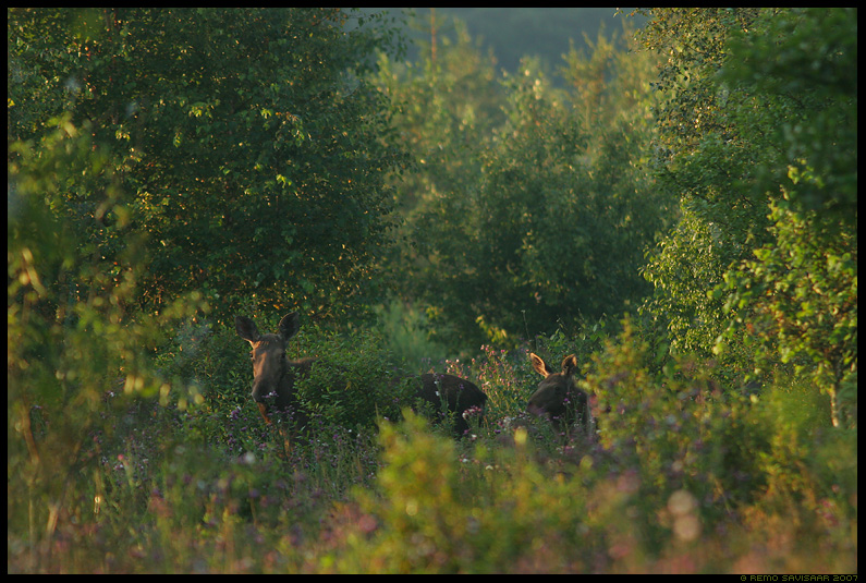 Põdrapere, Moose family, Alces alces