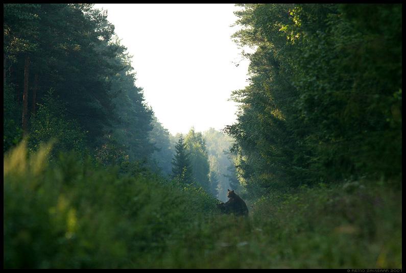Pruunkaru, Mesikäpp, mõmmik, European Brown Bear, Ursus arctos