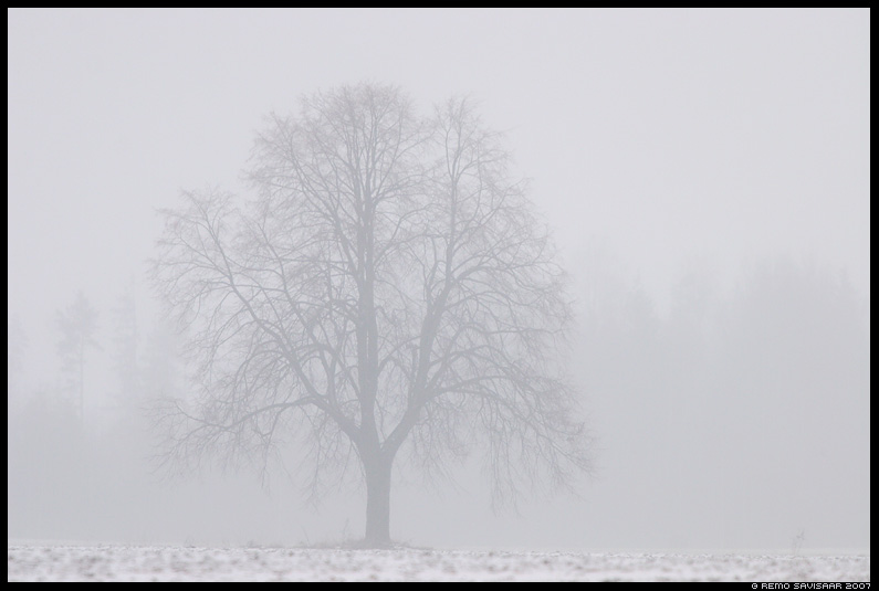 puu, tree, vaikuses, in silence, udu, udus, in fog