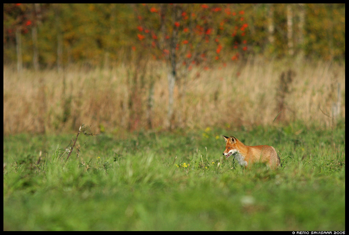 Rebane, Red Fox, Vulpes vulpes