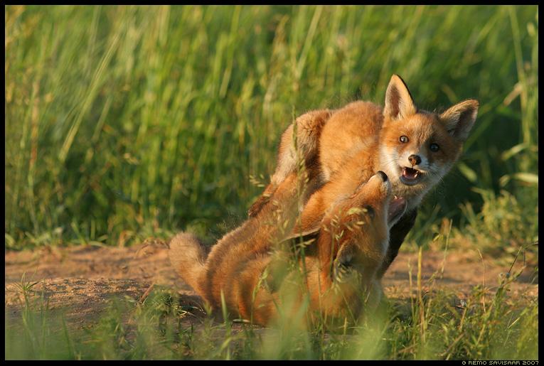 rebane, rebasekutsikas, fox puppy, Vulpes vulpes