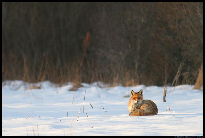 rebane, red fox, vulpes vulpes, lumi, lumel, snow