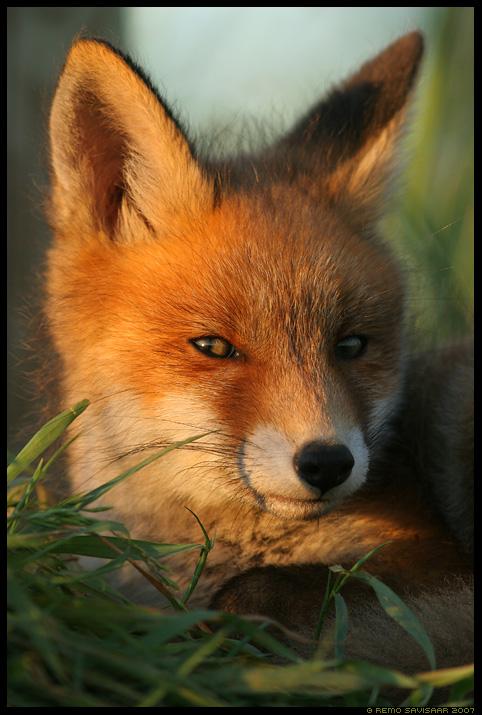 rebane, rebasekutsikas, fox puppy, Vulpes vulpes, portree, portrait